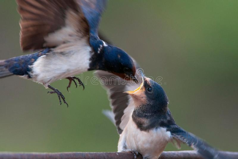 Barn swallow Hirundo rustica feeding her nestling in flight.  stock photography