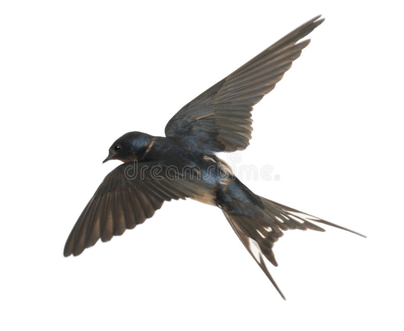 Barn Swallow, Hirundo rustica, lying royalty free stock photo
