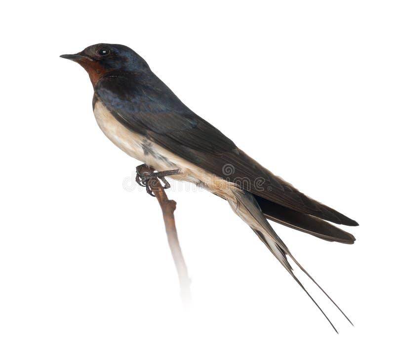 Free Barn Swallow, Hirundo Rustica, Perching Stock Images - 26644744