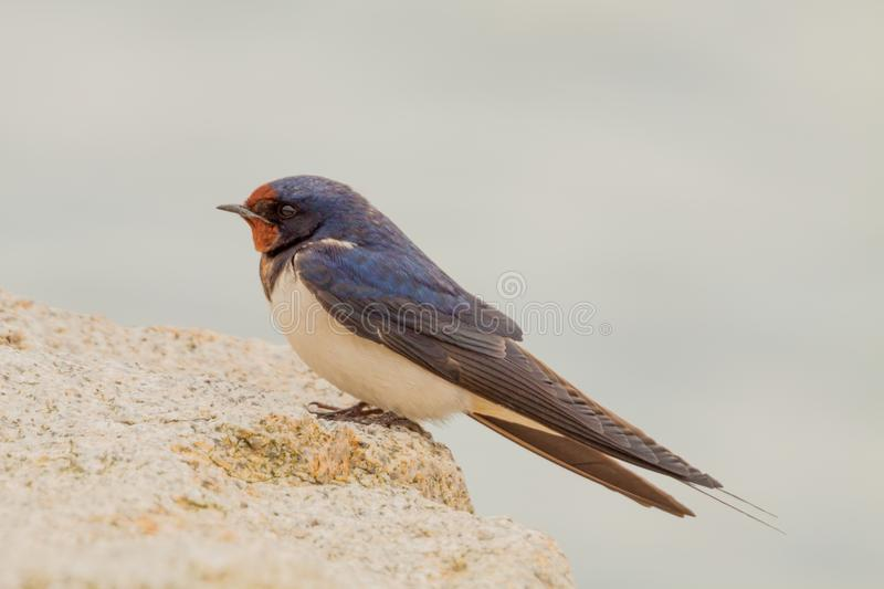 Barn swallow Hirundo rustica. The barn swallow Hirundo rustica is a small migratory bird belonging to the swallows family Hirundinidae. It is the most widely royalty free stock photography