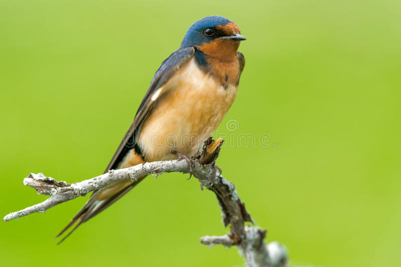 Barn Swallow. Perched on a dead branch royalty free stock image