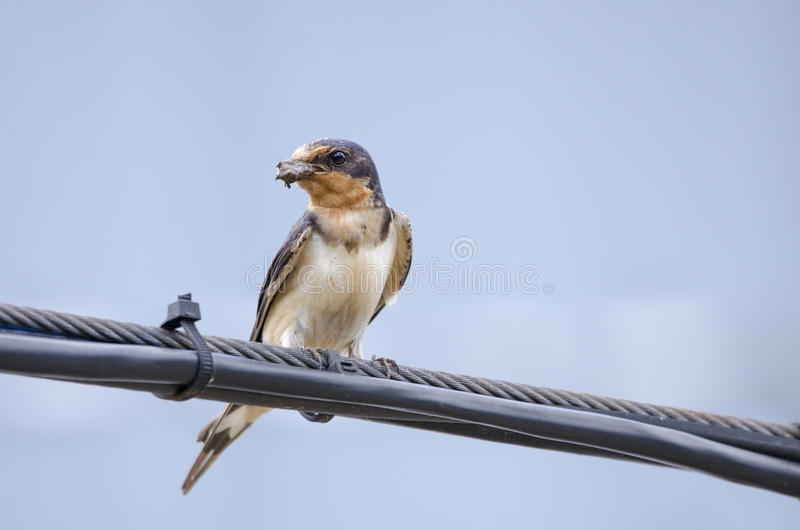 Barn Swallow perched with mud in beak for nest royalty free stock images