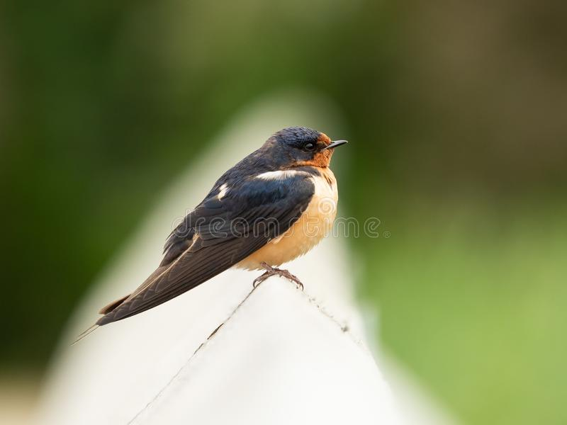 Barn swallow sitting on a wooden hand rail stock photography