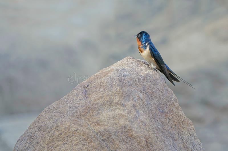 Barn swallow. A barn swallow stands on rock. Scientific name: Hirundo rustica royalty free stock photo