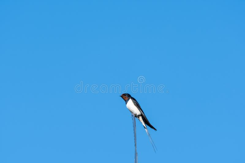 Barn Swallow closeup. Barn Swallow on the top of a weathercrock by a blue sky royalty free stock photos