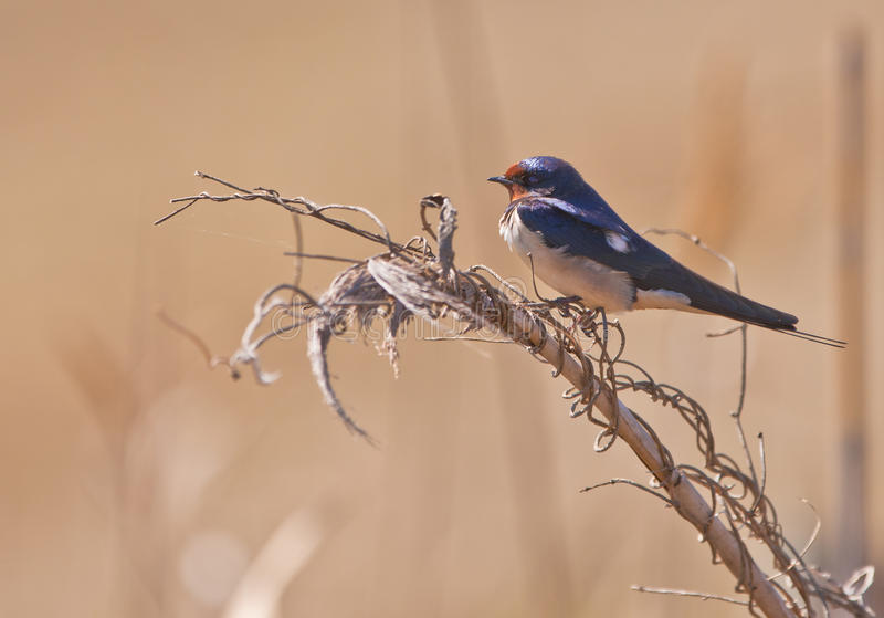 A Barn Swallow on a twig. A Barn Swallow (Hirundo rustica) just arrived from it´s winter quarters in Africa rests on a twig stock photos