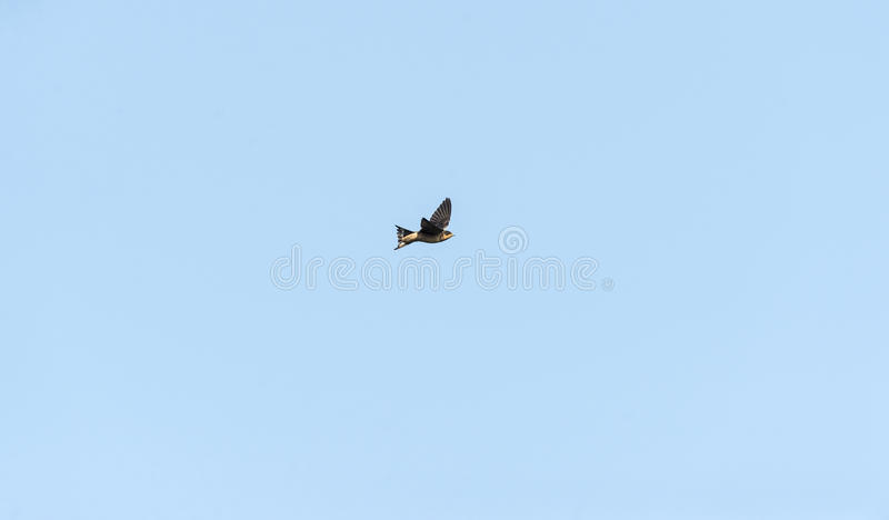 Barn Swallow wings high royalty free stock photo