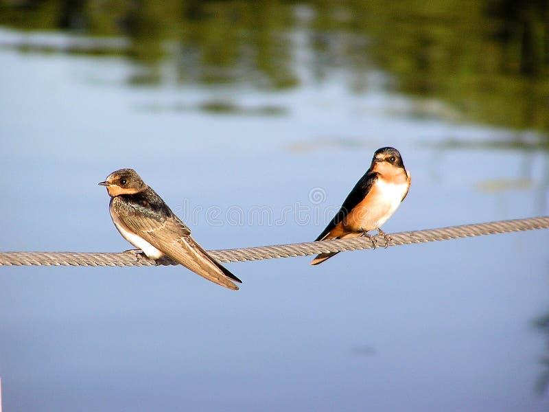Barn Swallows royalty free stock images