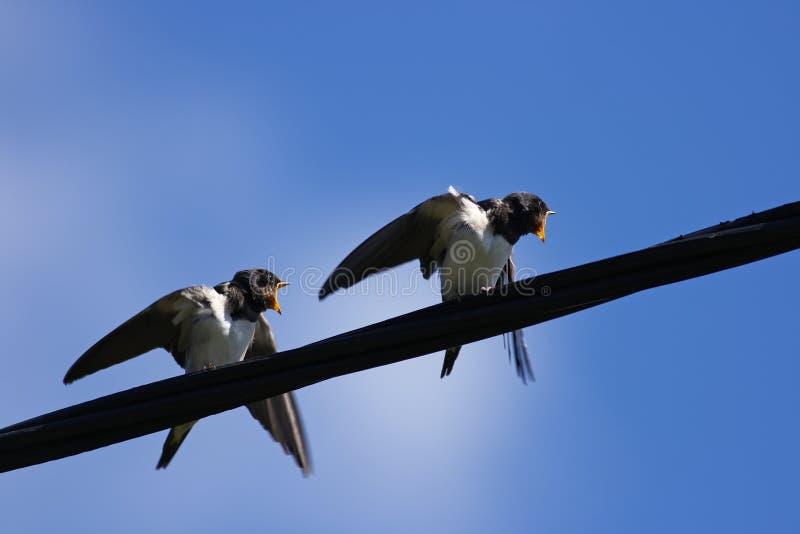 Barn swallows royalty free stock image