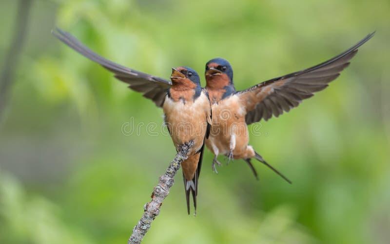 Barn Swallows stock photography