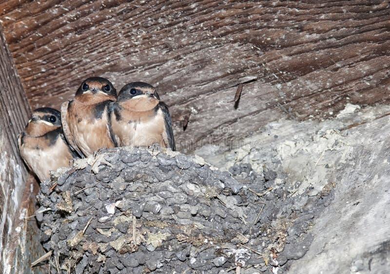 Barn swallows royalty free stock photo
