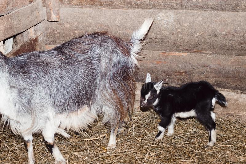 barn. there is a goat and three little goats in it. straw on the floor. walls of wood. there is toning stock photo