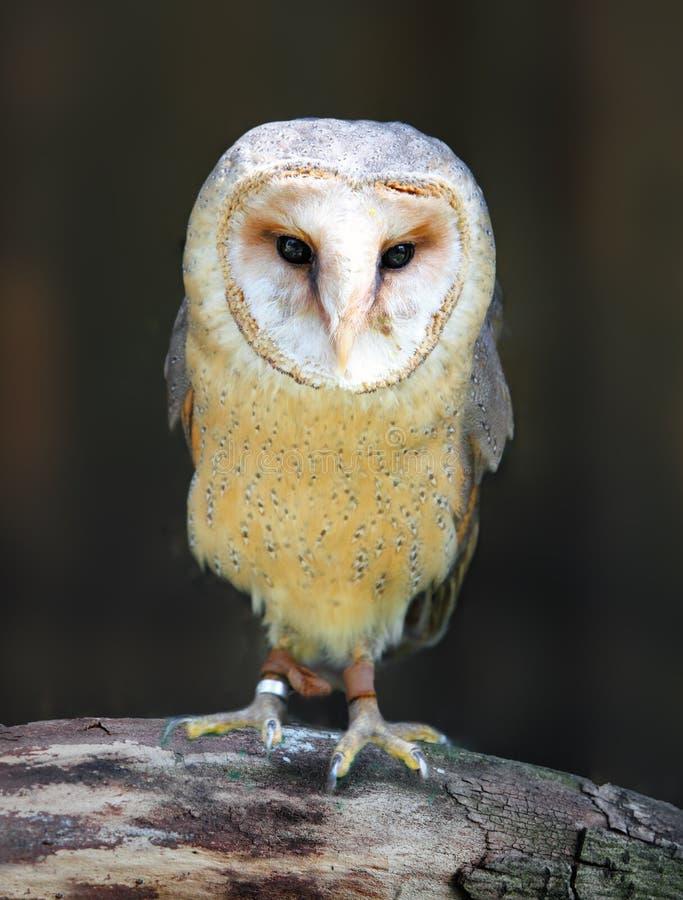 Download Barn - Tyto alba stock photo. Image of prey, carnivorous - 24785530