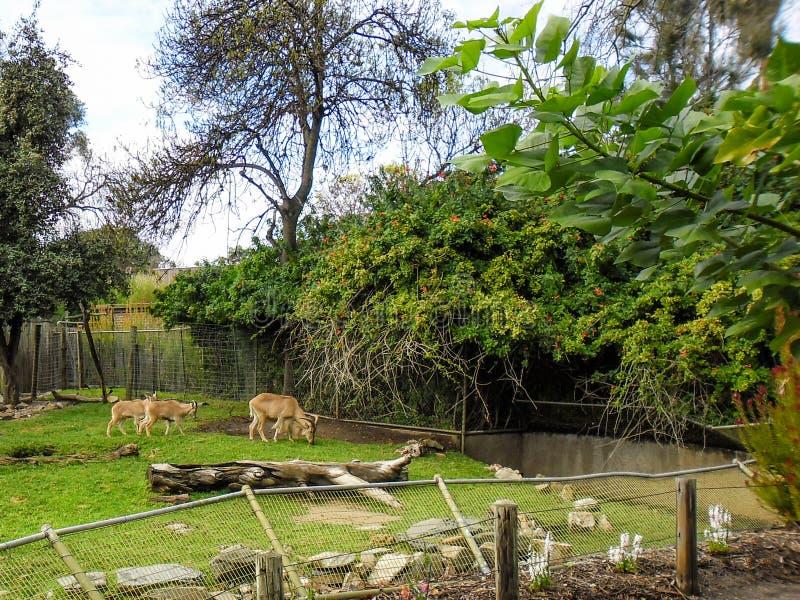 Barnaby Sheep in Adelaide Zoo lizenzfreies stockfoto