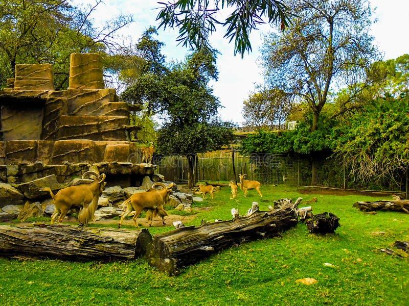 Barnaby Sheep Enjoy Natural Surroundings in Adelaide Zoo lizenzfreie stockbilder