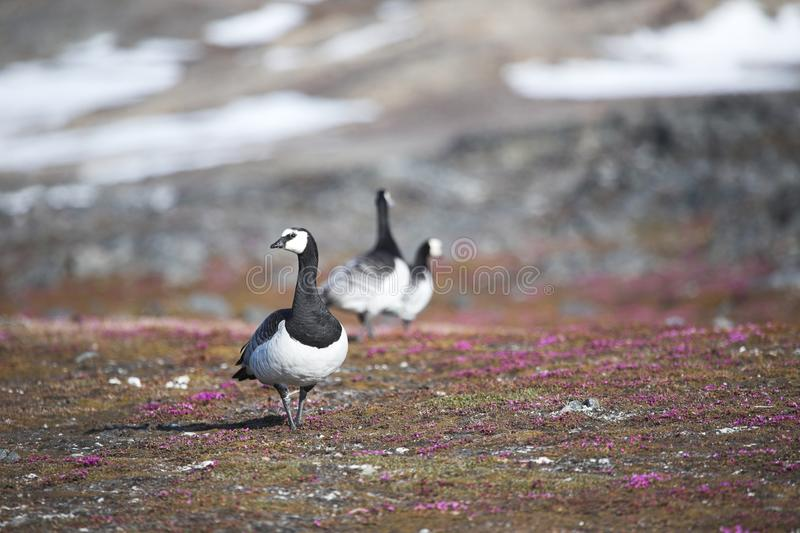 Barnacle gees in Arctic tundra royalty free stock image