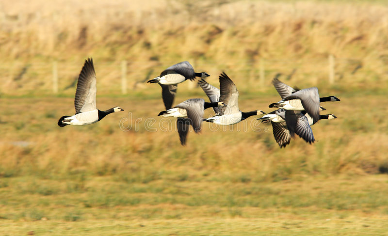 Barnacle Geese. A small flock of Barnacle Geese in flight at the Wildfowl and Wetland Trust Reserve at Caerlaverock in South West Scotland, UK. These migratory royalty free stock photography