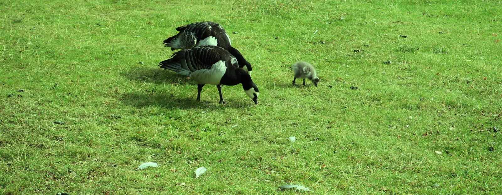 Barnacle geese branta leucopsis with chick. Sweden stock photo