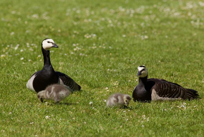 Barnacle Geese with goslings stock images