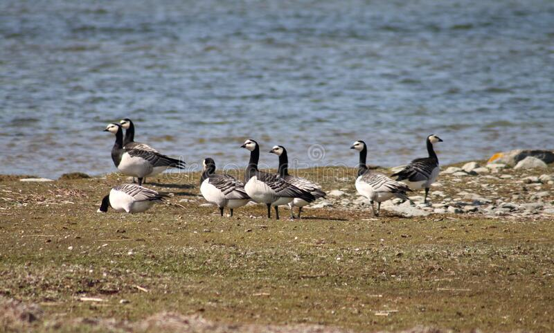 Barnacle Geese, Gotland. Free Public Domain Cc0 Image
