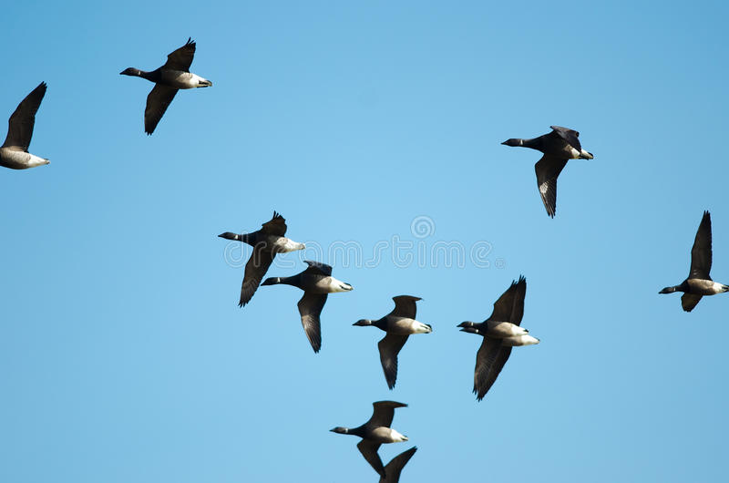 Download Barnacle Geese stock photo. Image of flight, feathering - 30572438