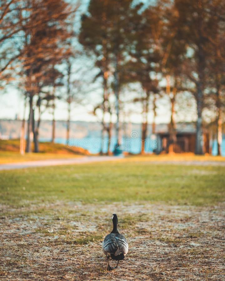 Barnacle goose royalty free stock photo