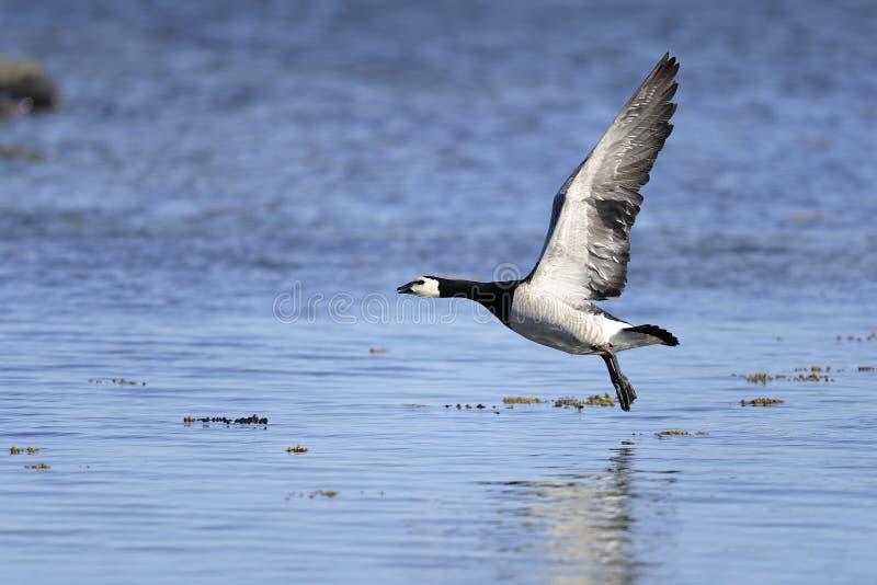 Barnacle Goose, Branta Leucopsis Royalty Free Stock Photos