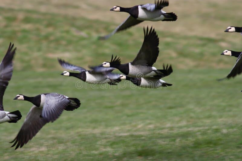 Barnacle Goose - Branta leucopsis stock photos