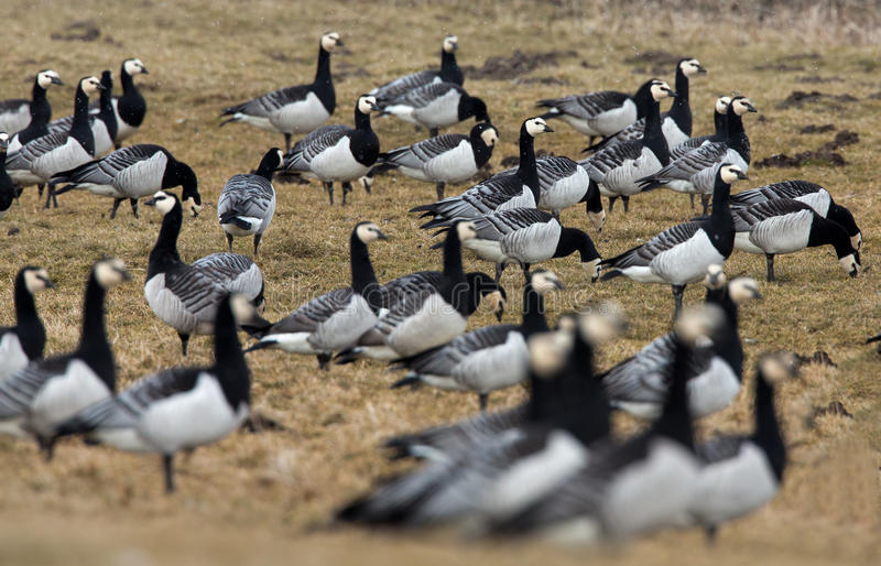 Download Group off Barnacle goose stock photo. Image of barnacle - 30303798