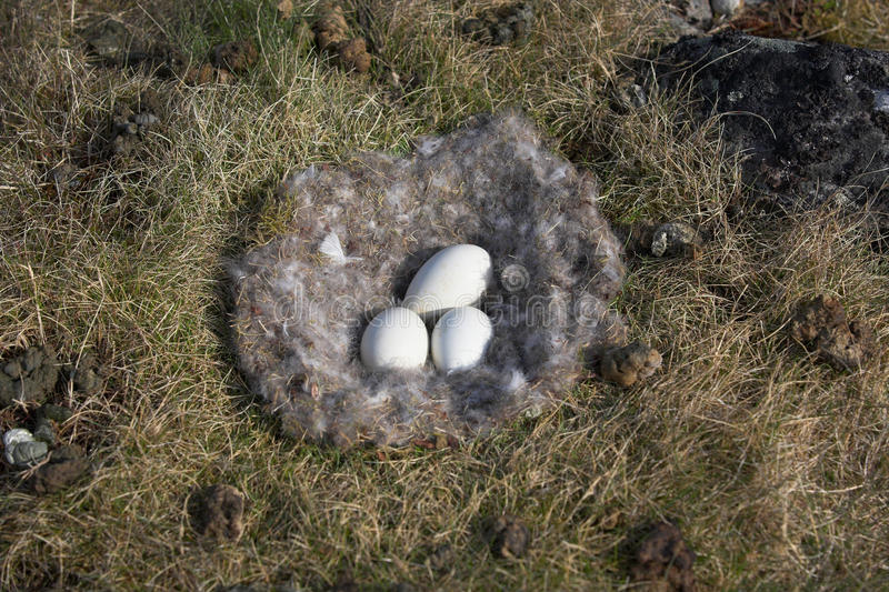 Barnacle goose nest with eggs - Spitsbergen royalty free stock photo