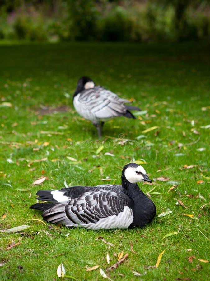 Barnacle goose sitting alone royalty free stock photo