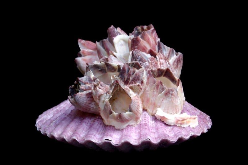 barnacle przegrzebek obraz royalty free