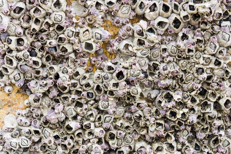Barnacles on Rock royalty free stock images