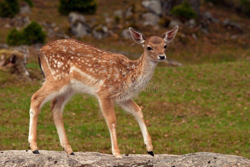 Barnet 1 år lismar av dovhjortar, en kvinnlig i en skog i Sverige arkivfoto