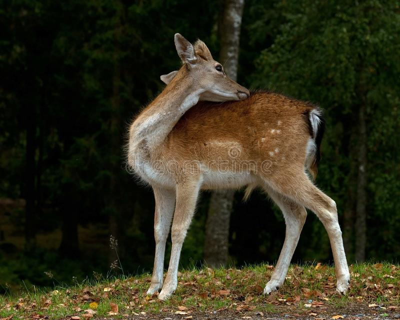 Barnet 1 år lismar av dovhjortar, en man i en skog i Sverige royaltyfri bild