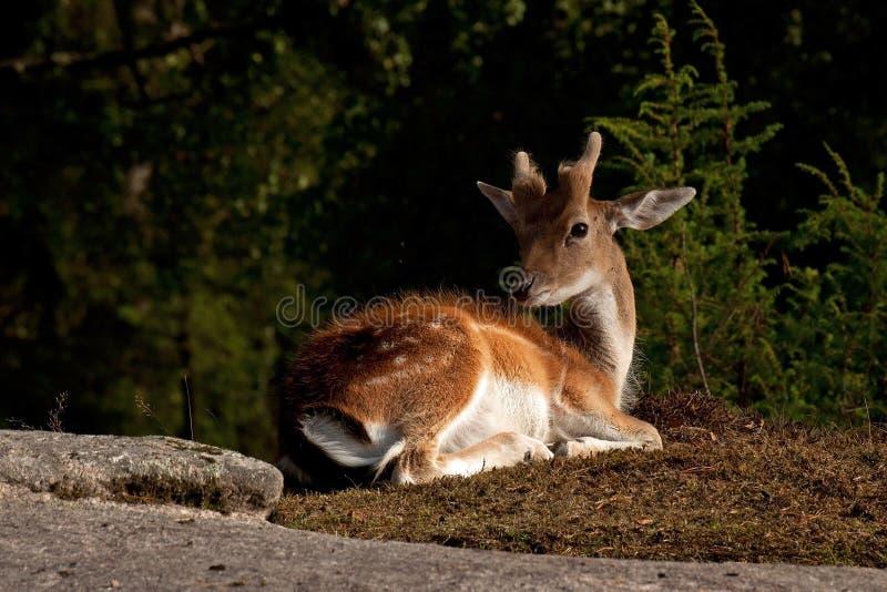 Barnet 1 år lismar av dovhjortar, en man i en skog i Sverige arkivfoto