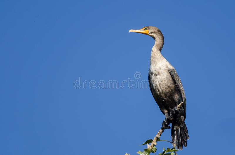 Barnet Dubblett-krönade kormoran som sätta sig i högväxt träd royaltyfri fotografi