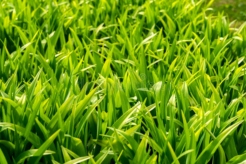Barnet fjädrar gräsnärbilden, ljus - grön skugga som kallas Grönska, symbolet av nya början, den moderna naturliga tapeten för royaltyfri bild