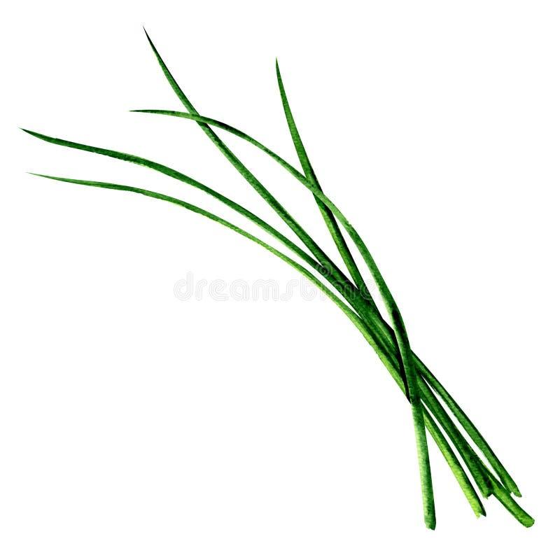 Barnet gör grön nya gräslökar samlar ihop isolerat, vattenfärgillustrationen på vit vektor illustrationer