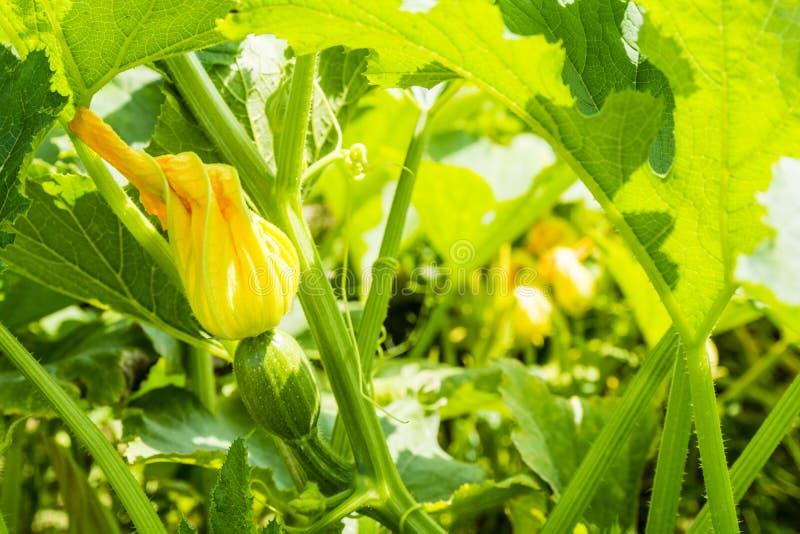 Barnet gör grön zucchinin med blomman arkivbilder