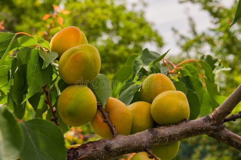 Barnet g?r gr?n aprikons. Kli av ett aprikosträd med aprikoser. Aprikors p? en filial fotografering för bildbyråer