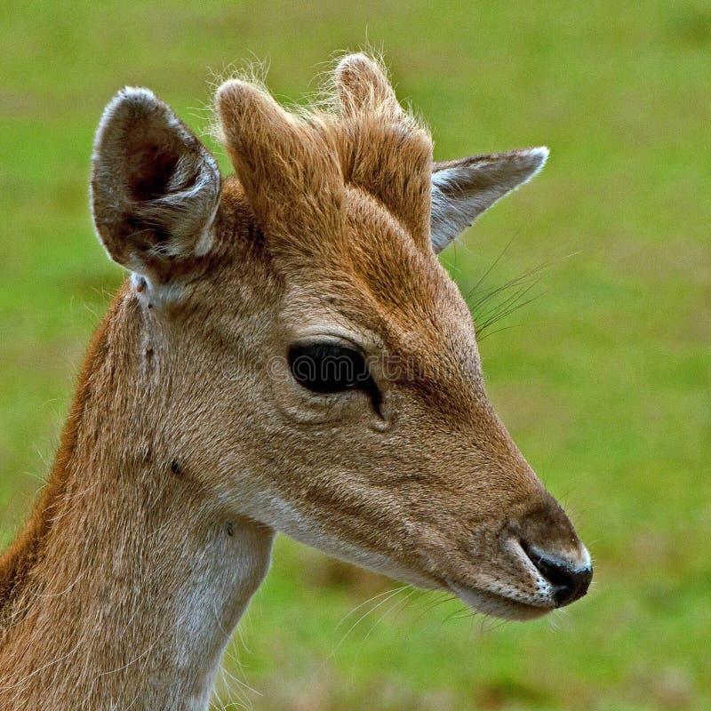 Barnet 1 ?r lismar av dovhjortar, i en skog i Sverige royaltyfri bild