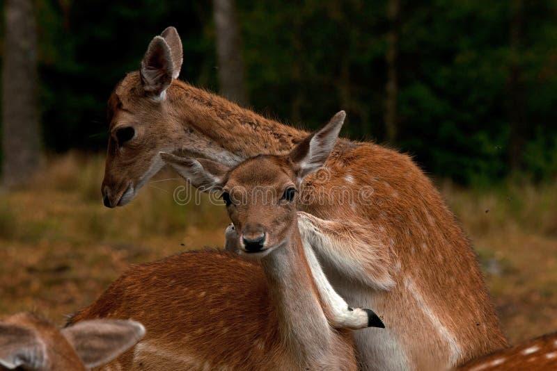 Barnet 1 ?r lismar av dovhjortar, i en skog i Sverige royaltyfria bilder