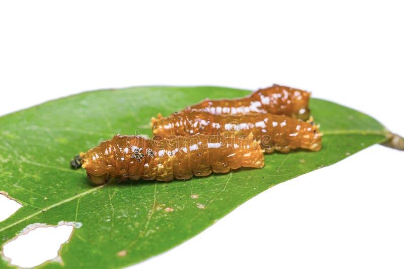 Barnet satte band Swallowtail larver fotografering för bildbyråer