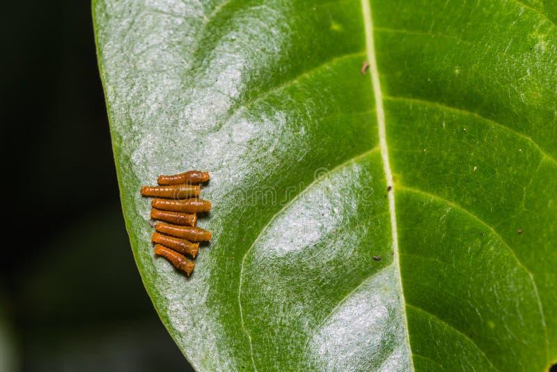 Barnet satte band Swallowtail larver arkivbilder