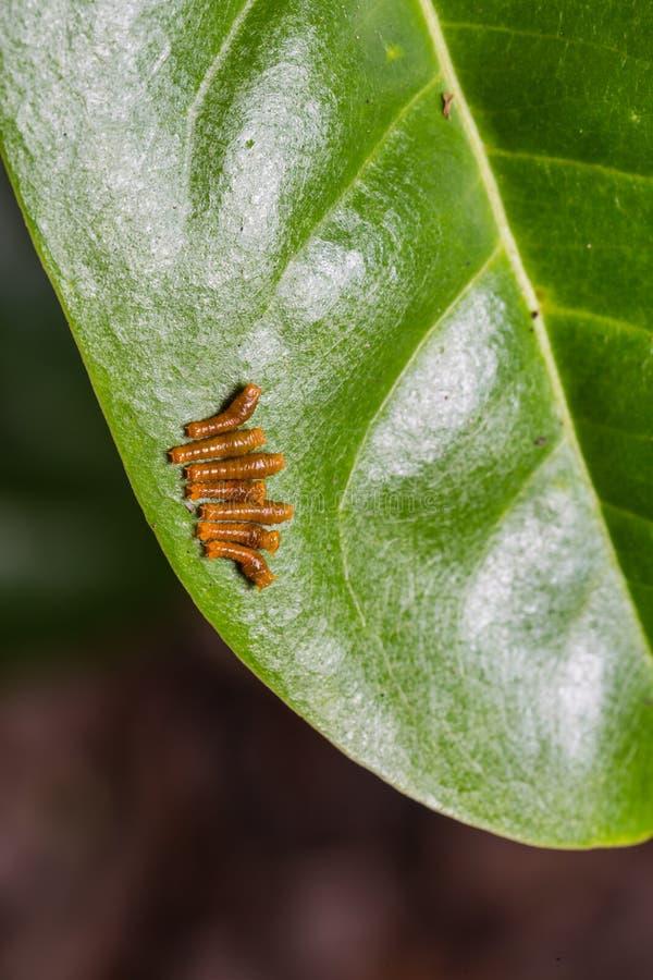 Barnet satte band Swallowtail larver royaltyfri bild
