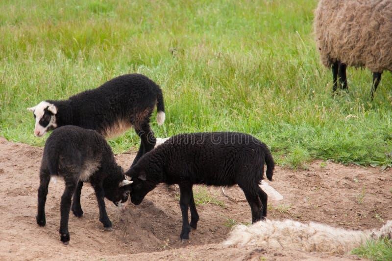 Barnet svärtar lamm som slåss i beta royaltyfri foto