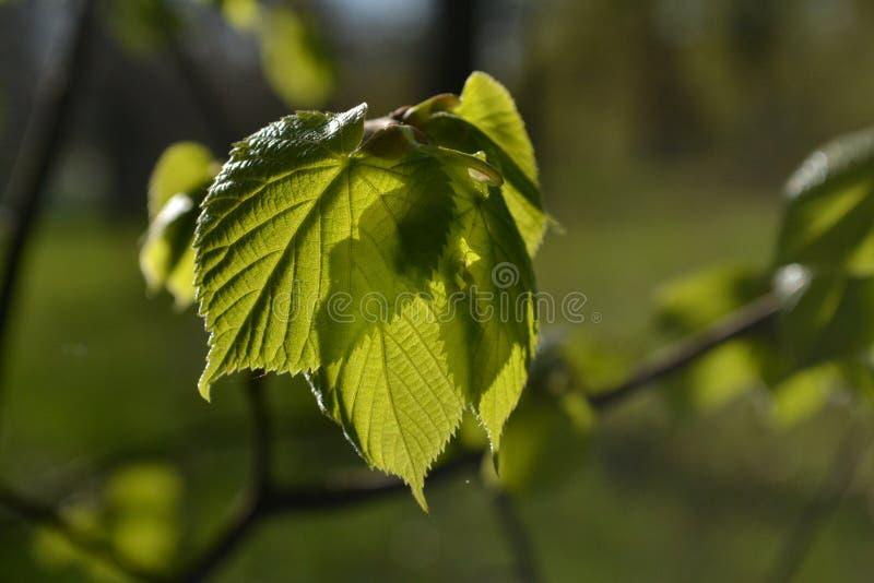 Barngräsplansidor av lindar glöder i solen arkivfoton