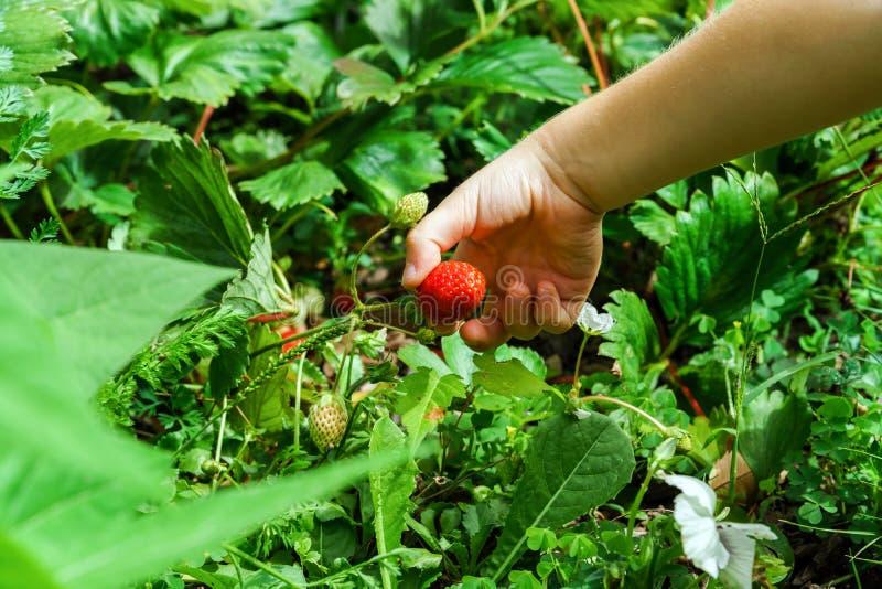 Barnhand som rymmer den röda jordgubben royaltyfri fotografi