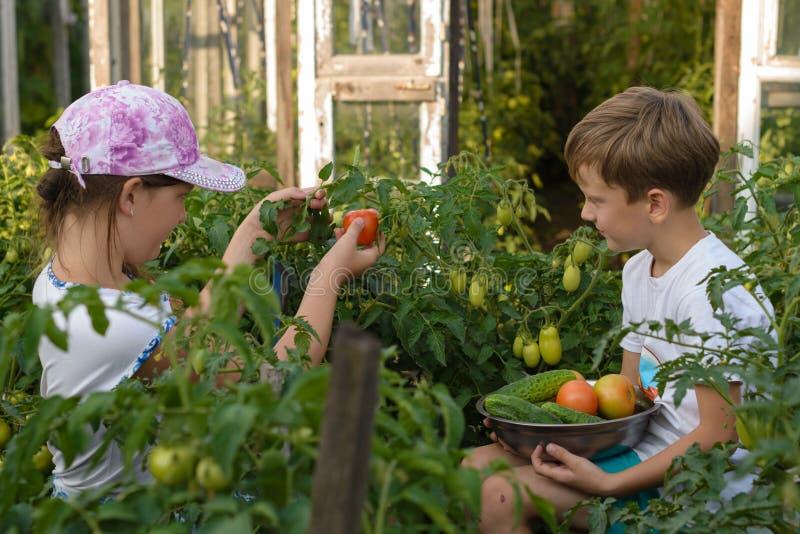 Barnhopsamlinggrönsaker skördar a-pojken, och en flicka arbetar arkivfoton